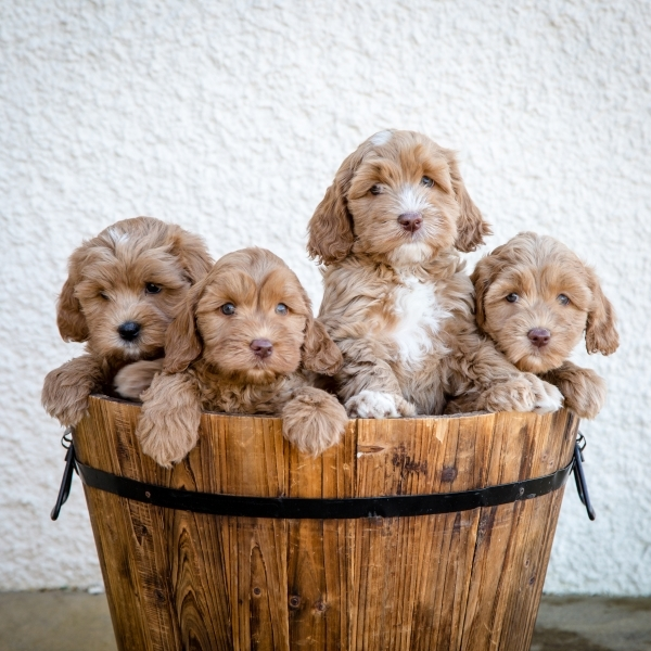 Labradoodles Puppies (1)